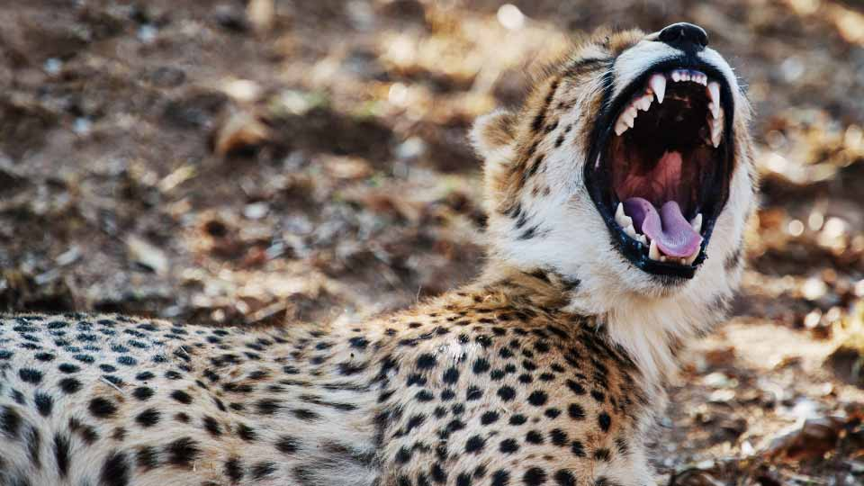 Leopard with open mouth.